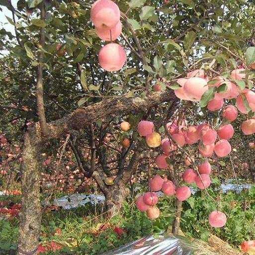 苹果苗基地