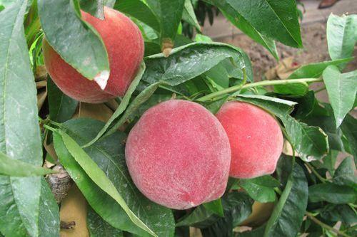 桃树苗种植基地直发