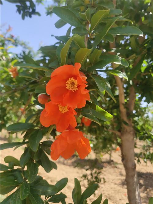 石榴园的夏日限定小花花
