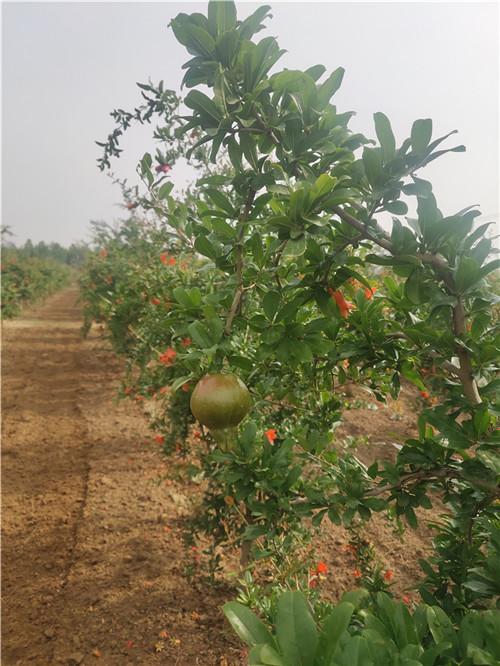 关于荥阳特色河阴软籽石榴树苗嫁接的技术