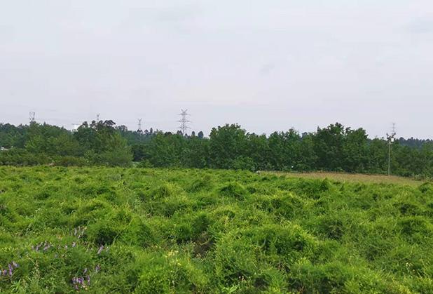 四川天门冬种植