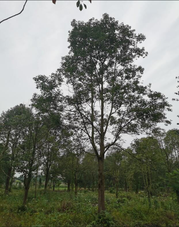 香樟树种植