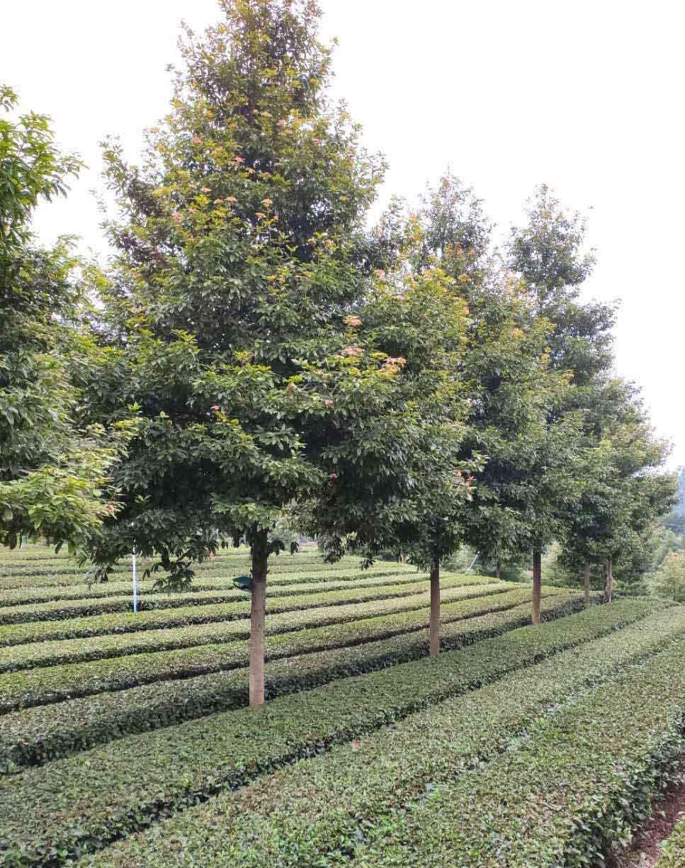 成都金丝楠木苗种植