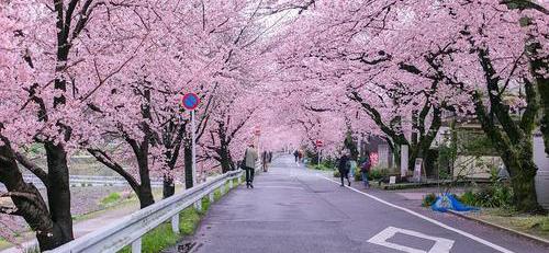 你知道吗?樱花树苗的移植时间非常关键