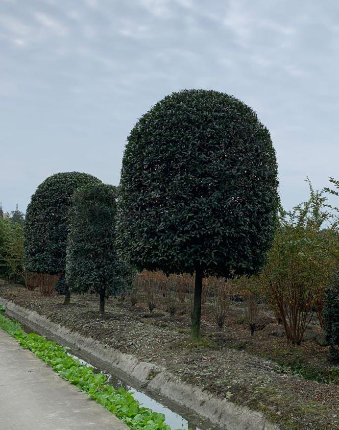 成都桂花树苗种植