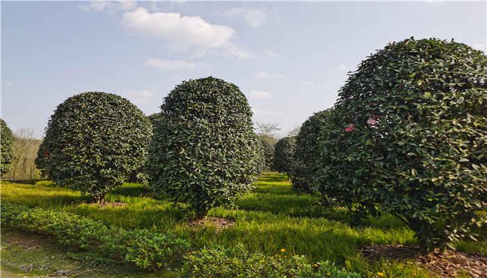 成都桂花树种植