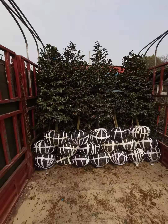 1.6米茶梅 发往重庆工地