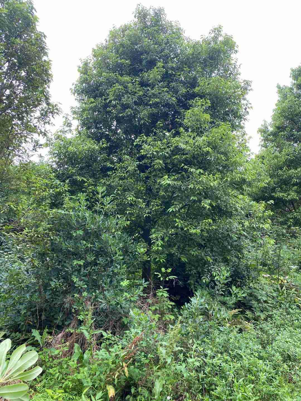 成都天竺桂树苗种植