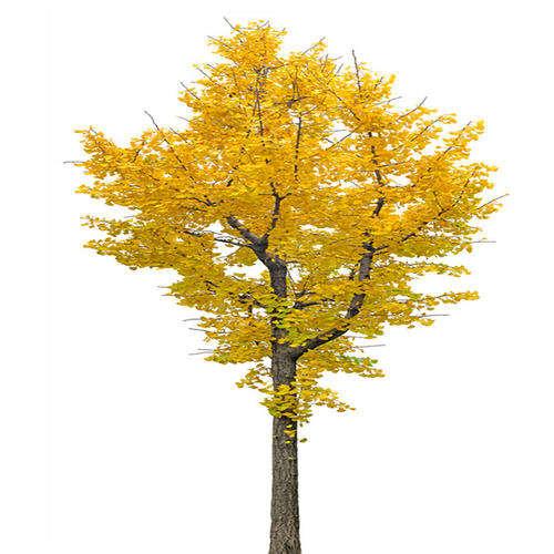 成都银杏树苗栽培管理之春季施肥很重要