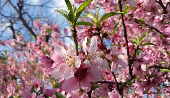 樱花树有种植方法你知道吗