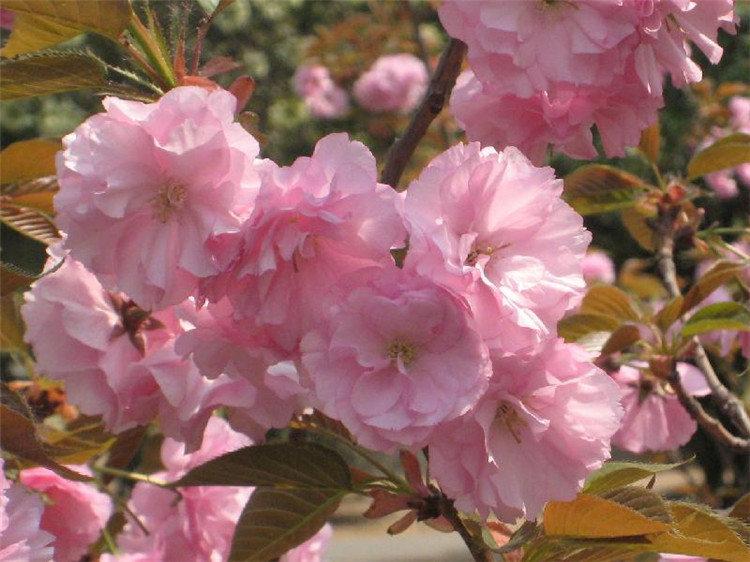 成都樱花树苗种植时间是什么时候?
