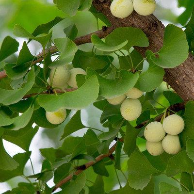 发叶后的银杏树苗还能移栽吗?
