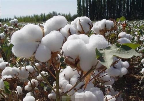 新疆棉花怎么了?