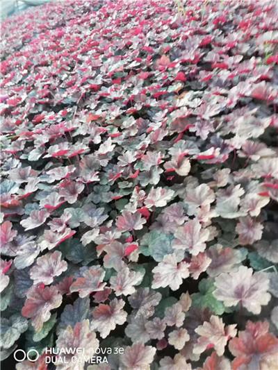 宿根花卉不同品种有什么不同特点,这些你都知道吗!