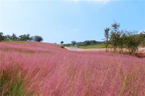 今天跟随东韵园林工作人员一起去了解下观赏草品种辨识及汇总