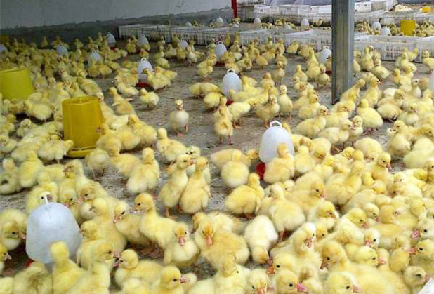 四川鹅苗孵化厂养殖