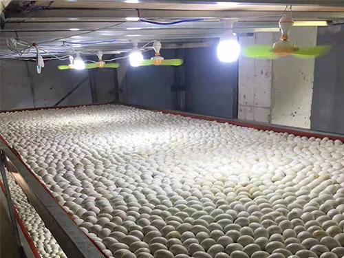 四川鹅苗孵化厂与您安利鹅苗孵化前要哪些准备?