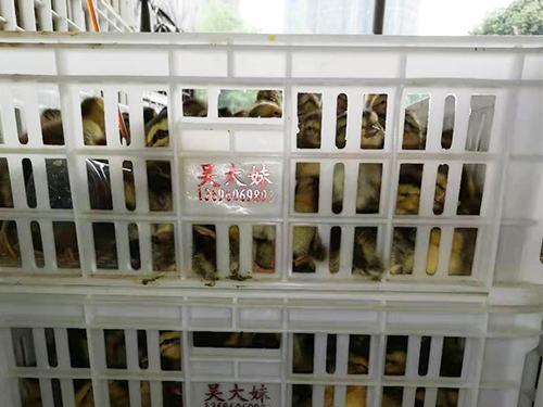四川鸭苗孵化场销售成功案例