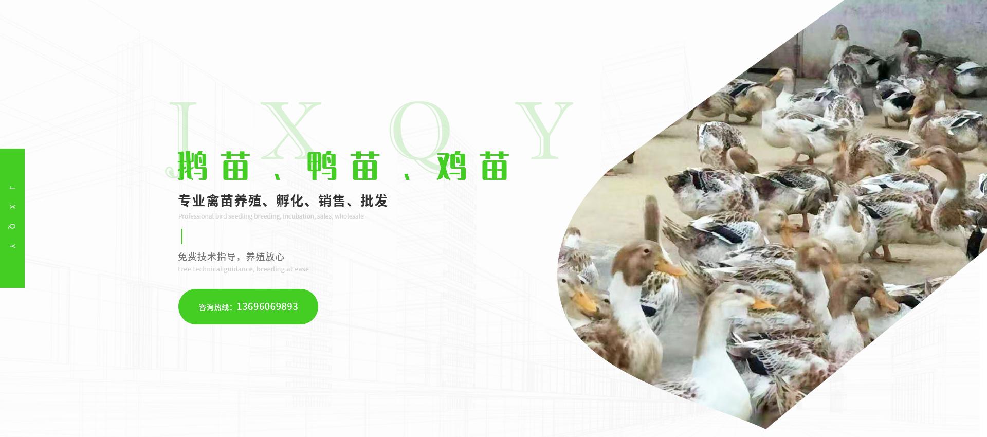 四川鹅苗孵化厂