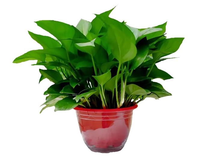 室内除甲醛植物还有哪些?