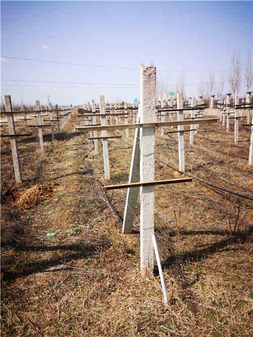 西安猕猴桃果园时应该怎么栽网架杆?