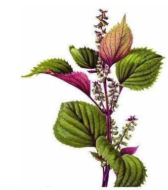 芳香植物提取物离春天还有多远?