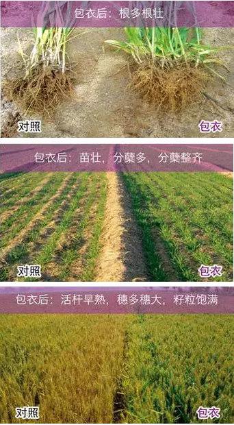 勤耕小麦拌种剂使用效果