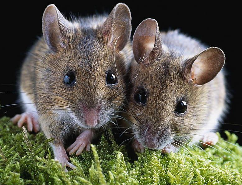 老鼠究竟有多聪明,为什么慢性老鼠药比急性的好?