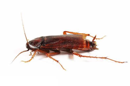 杀虫剂厂家为你讲述不用药的灭蟑螂方法