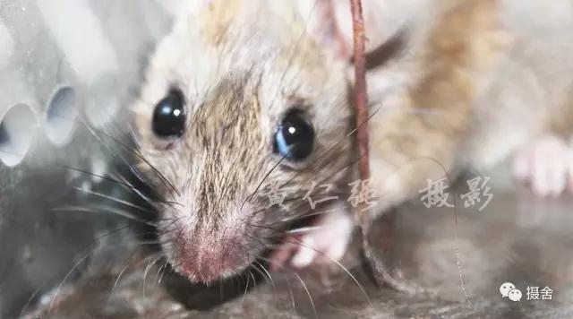 老鼠头部特征