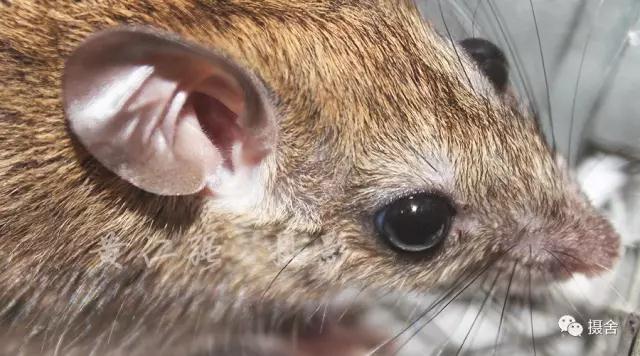 老鼠耳部特征