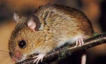老鼠的危害