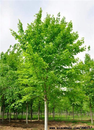 这种树竟然也分性别
