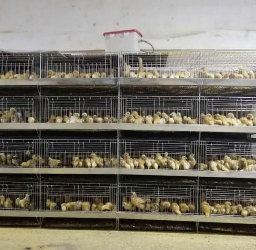 跟着云南育雏笼厂家一起来了解一下养鸡场的建设方法