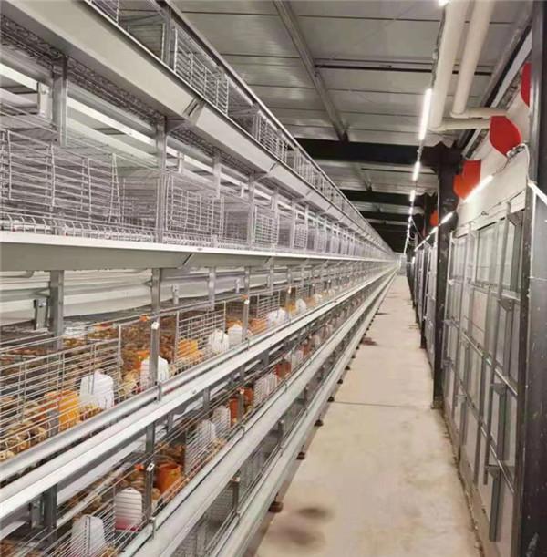 育雏笼养鸡设备不同灯光对鸡群的影响