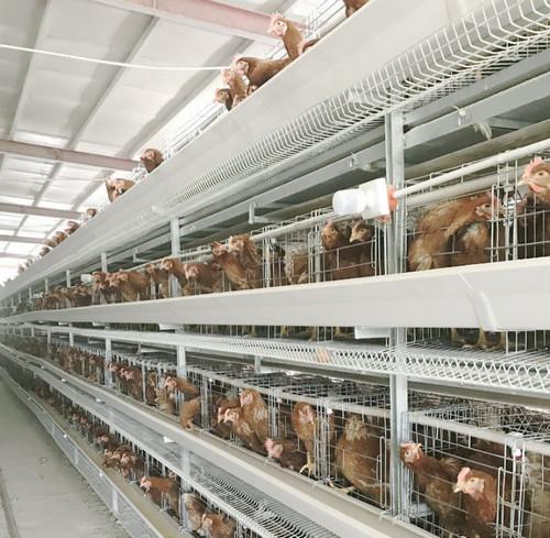 蛋鸡平养与笼养的优劣分析,你会怎么选择?