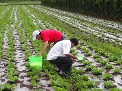 成都农业石灰改善土质的六大注意事项介绍