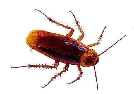 家里有蟑螂,灭蟑螂用什么方法效果好?