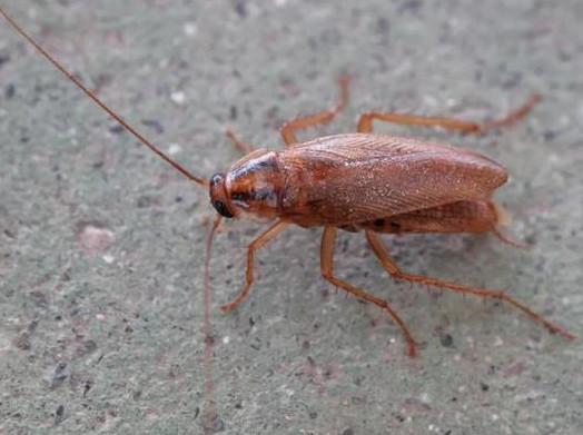 蟑螂肆掠会给汽车工厂带来哪些危害?怎么样防治工厂蟑螂?