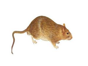 家庭灭鼠新方法,家有老鼠的请赶紧收藏起来!