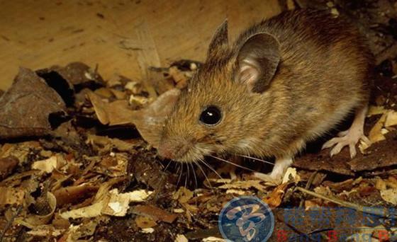 怎样通过鼠洞灭鼠?掌握这四个知识很重要!