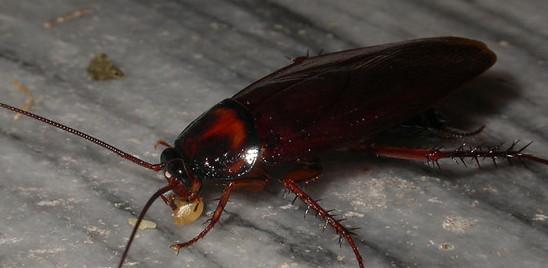 蟑螂害怕什么,如何消灭它们?