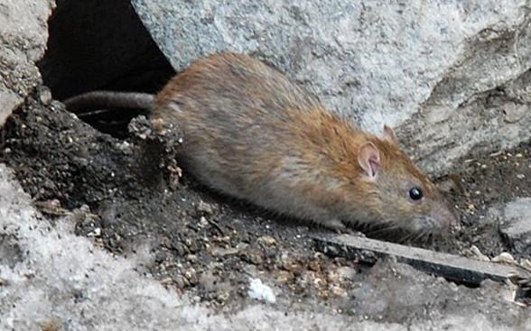 灭鼠前要学会观察鼠迹!从这7方面来观察!