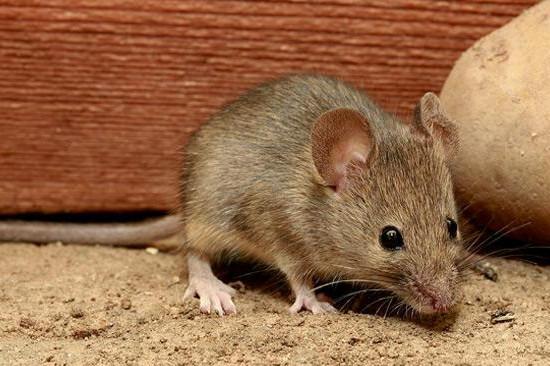 鼠类防制四个方法步骤
