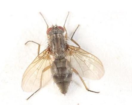 怎么消灭果蝇才有效?