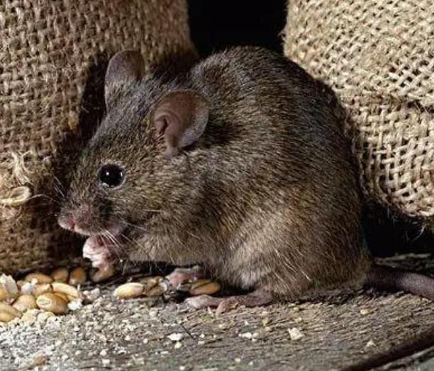 鼠类的生物特性是什么?