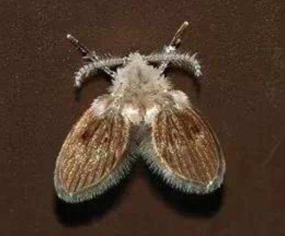 卫生间里的小飞虫究竟是什么虫?怎样才能够杀灭蛾蠓呢?