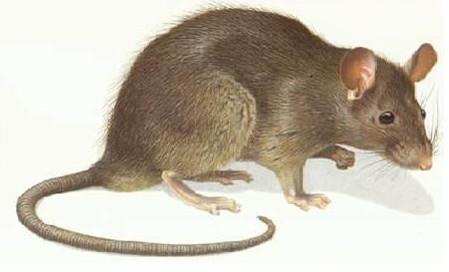 家鼠有什么危害?三大危害让我们心惊胆战!