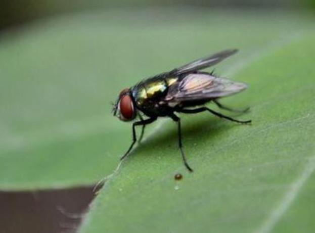 苍蝇.怕什么味道?张家口灭苍蝇公司告诉你!