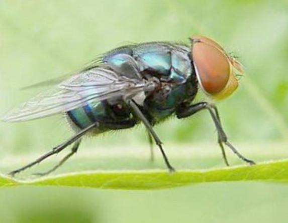 苍蝇怕什么植物?驱苍蝇有效的方法是什么?